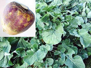 Swede Seed (Major Plus)