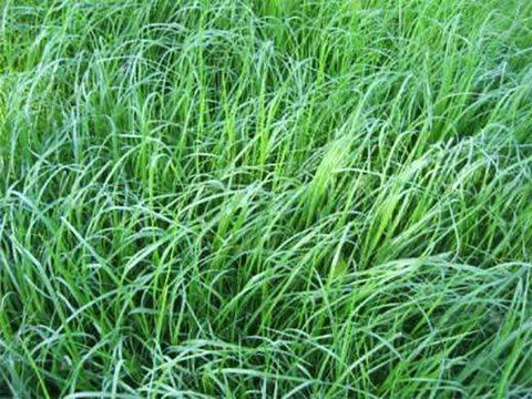 Tiffany Teff Grass Seed
