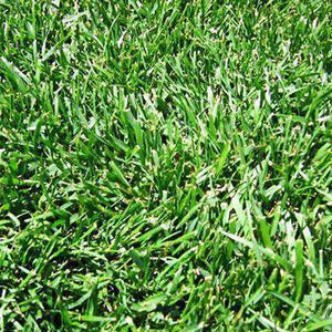 Hancock's Turf Type Tall Fescue