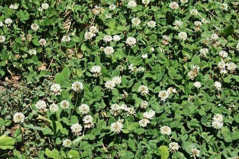 White Dutch Clover Seed
