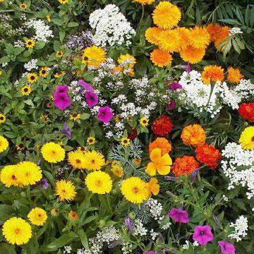 Sunburst Wildflower Ground Cover Mix