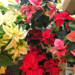 Christmas Poinsettias (Sleeved)