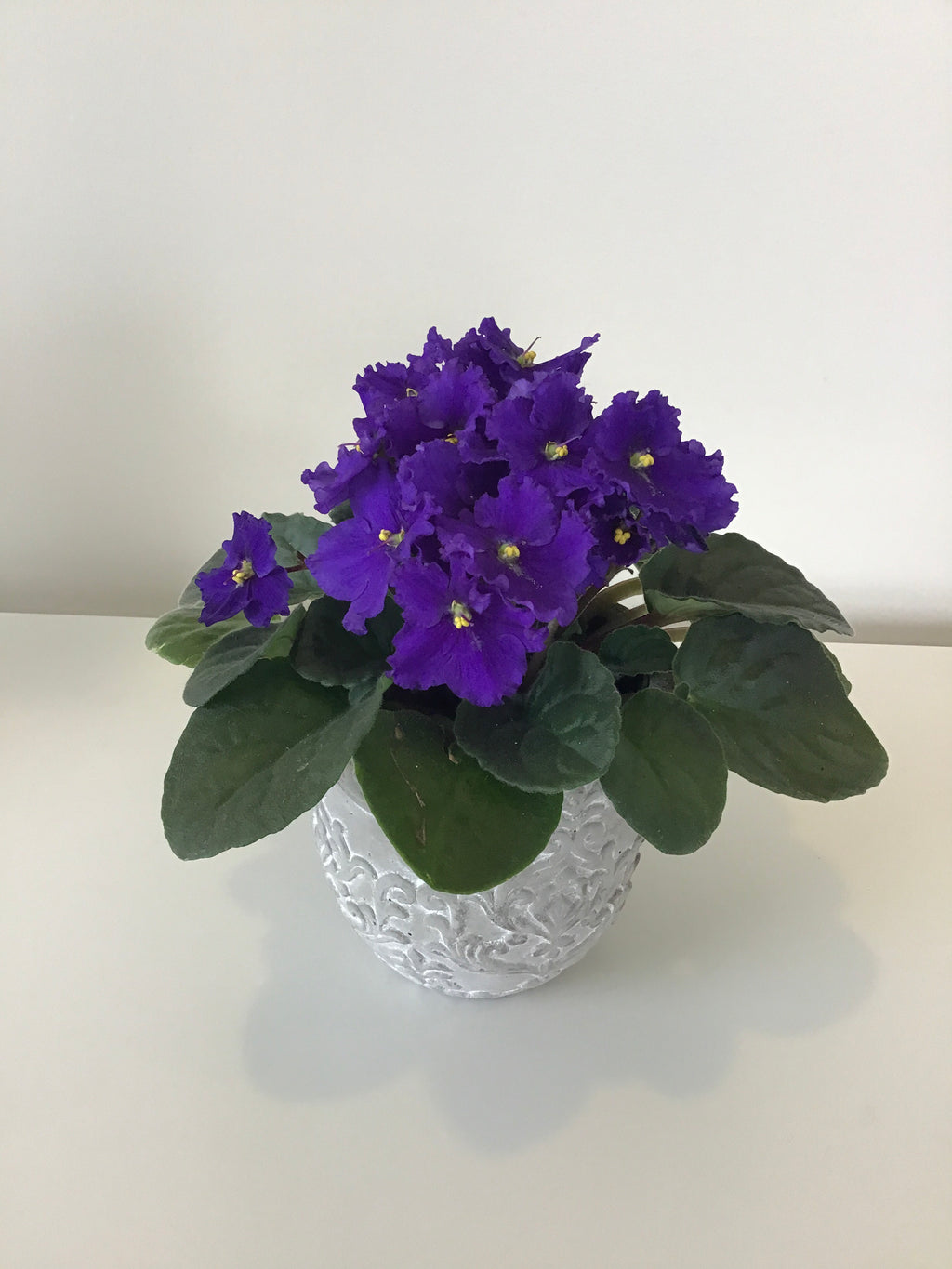 African Violet potted plant