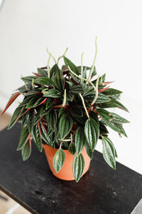 Peperomia (110mm pot size)