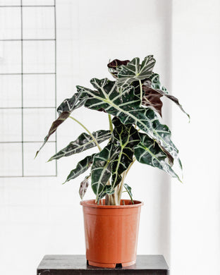 Alocasia Polly (180mm Pot Size)
