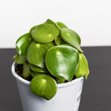 Peperomia Raindrop (140mm Pot Size)
