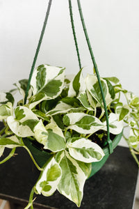Pothos Snow Queen (200mm Pot Size)