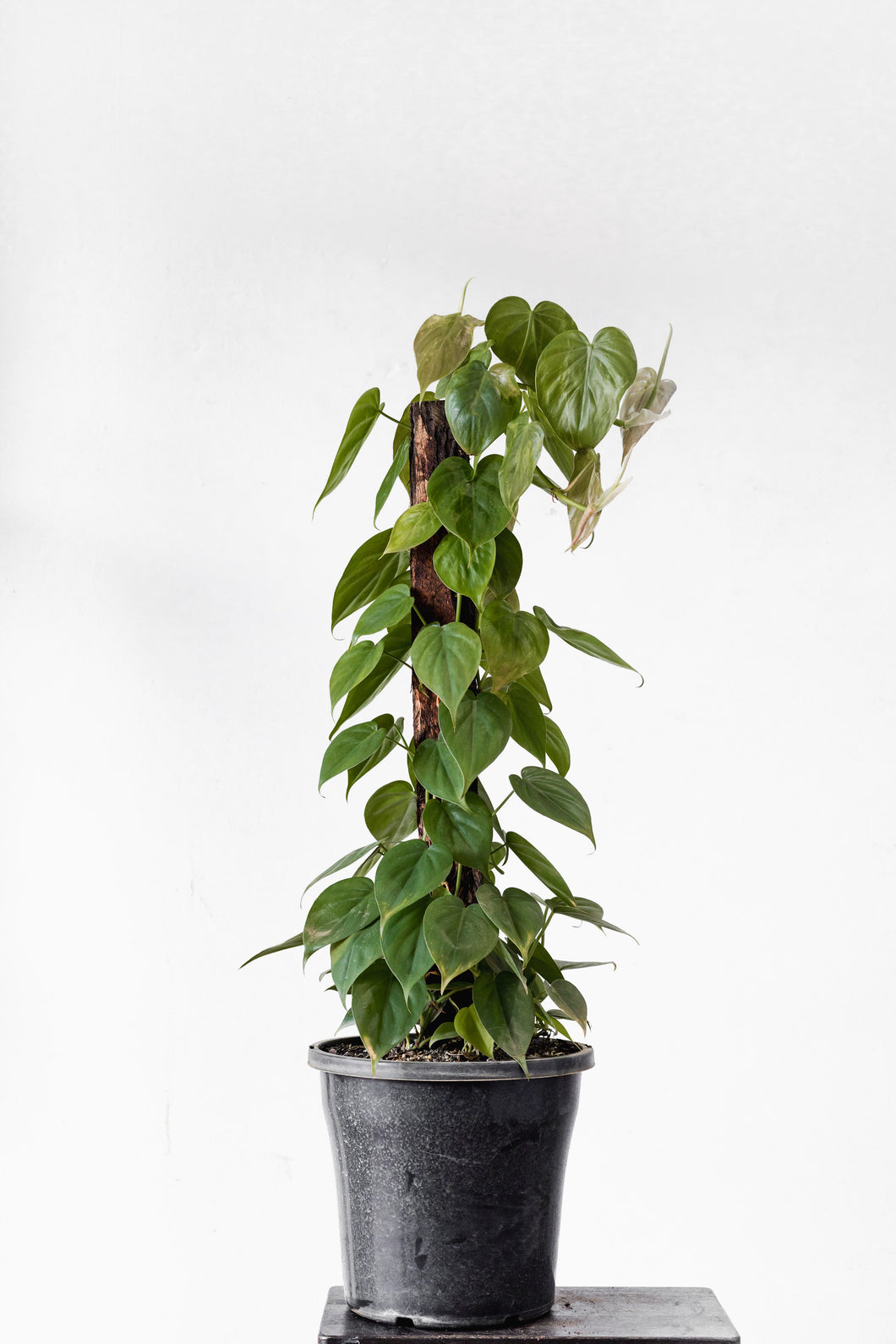 Philodendron Cordatum (250mm pot size)