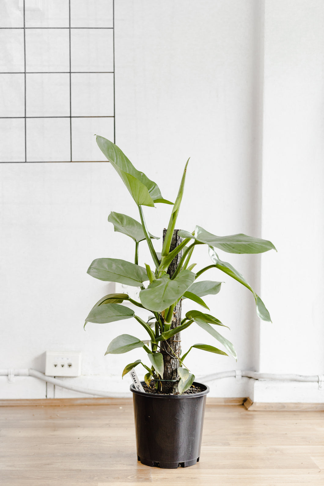 Philodendron, Silver Swords (200mm Pot Size)