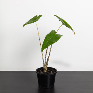Alocasia Zebrina (130mm Pot Size)