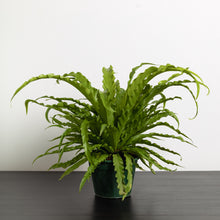 Bird's Nest Fern (140mm Pot Size)