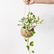 Pothos, Snow queen hanging kokedama