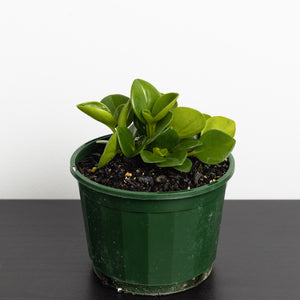 Peperomia (115mm Pot Size)