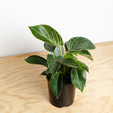 Philodendron Birkin (130mm Pot Size)