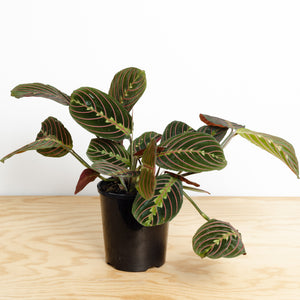 Maranta Red Vein (120mm Pot Size)