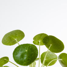 Pilea Peperomioides, 'Chinese Money Plant' (130mm Pot Size)
