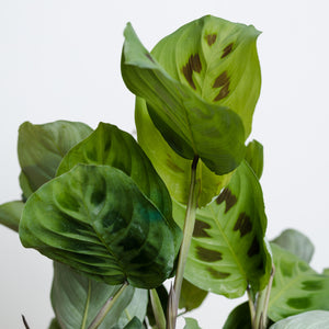 Maranta Green Prayer (130mm Pot Size)