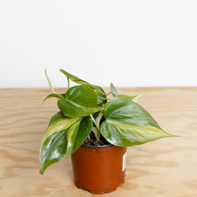 Philodendron Brazil (100mm pot)