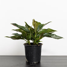 Aglaonema cultivar (100mm pot size)