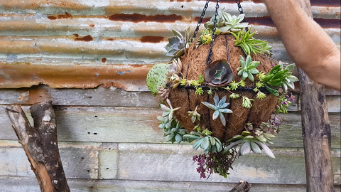 Succulent sphere full of succulents against a timber backdrop