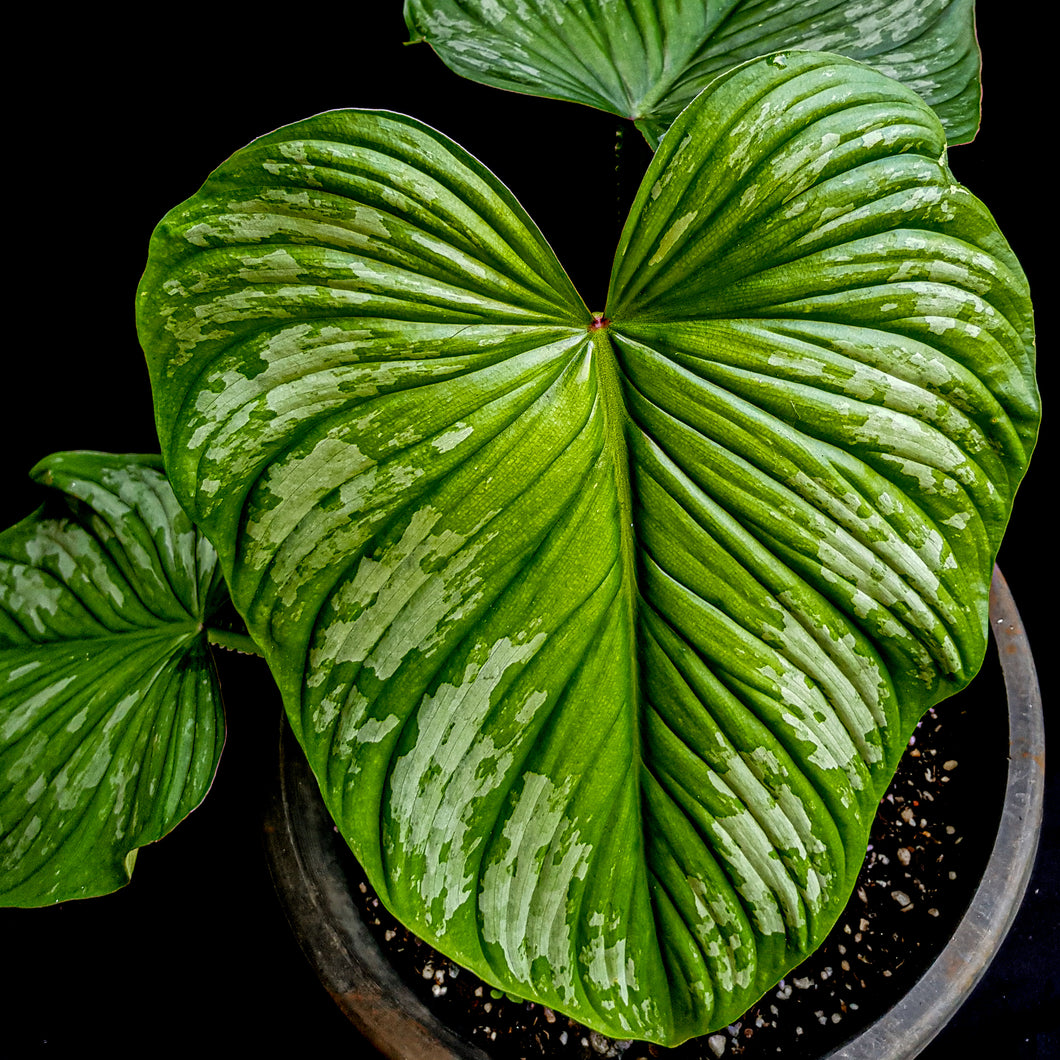 Philodendron Silver Cloud
