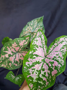 Caladium hybrid with green leaf and lots of pink splotches in front of a black background