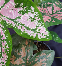 Close up of a hybrid caladium with each leaf a different shade of pink
