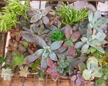 Succulent Cutting Pack