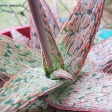 Close up of the centre of Aloe pink blush with flower stalk