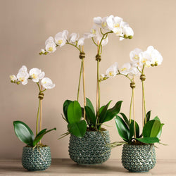 Pearl Orchid Arrangement