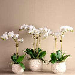 Stella Orchid Arrangement