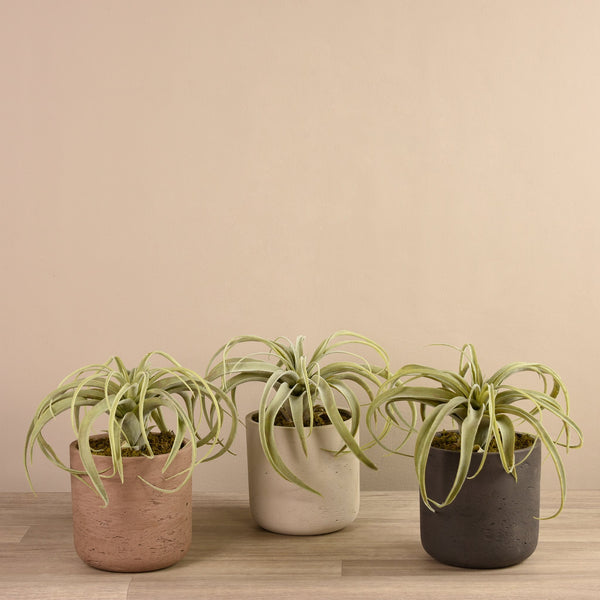 Bloomr-USA Plants Beige Tillandsia in Cement Pot artificial flowers artificial trees artificial plants faux florals