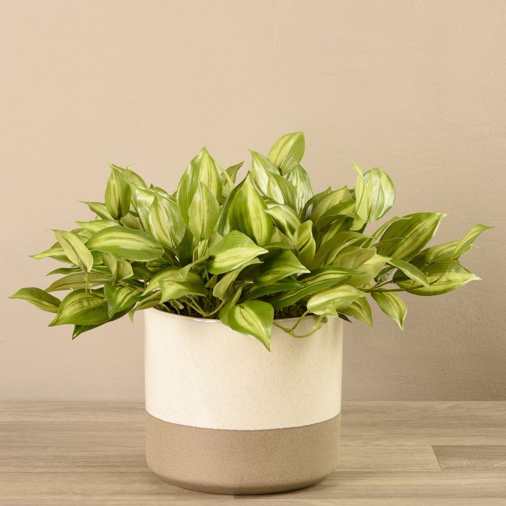 Potted Vanilla Plant