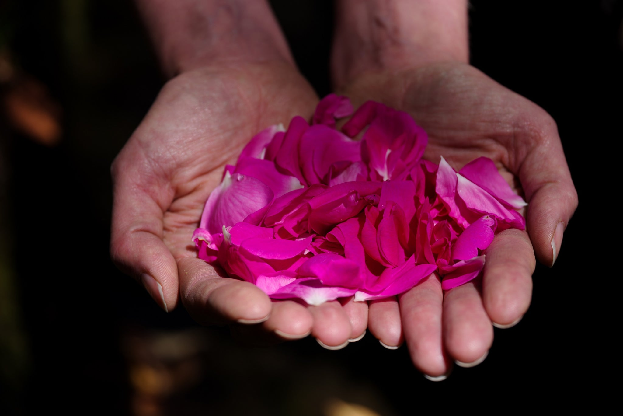 Rose, a naturally sourced ingredient of Nunaia, lovingly held in growers hands showing our ritual.