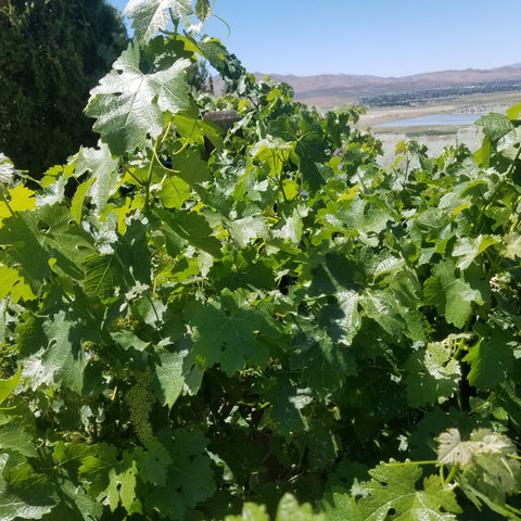 Cabernet Sauvignon in the Northern Nevada Hills