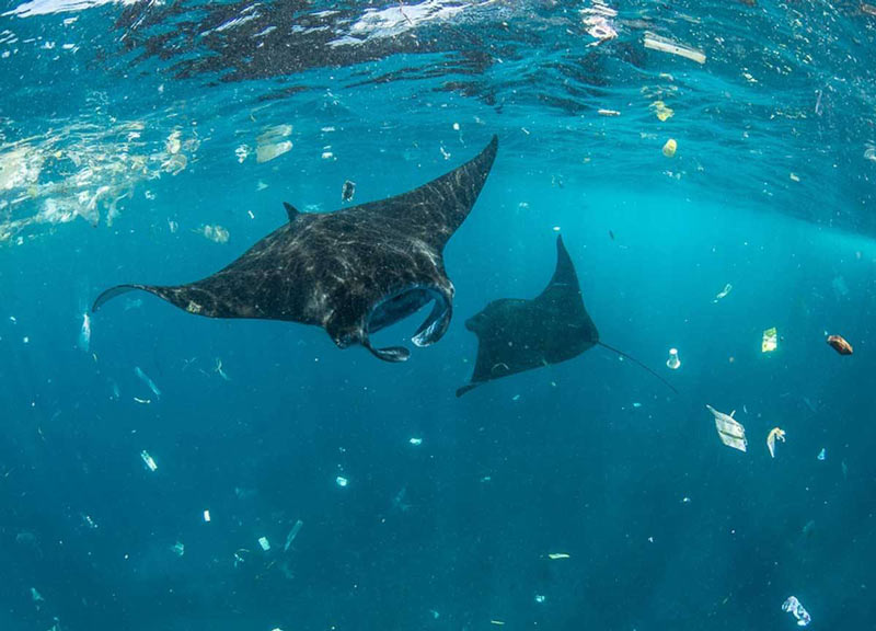 Rays Consumed in Ocean Plastic Pollution