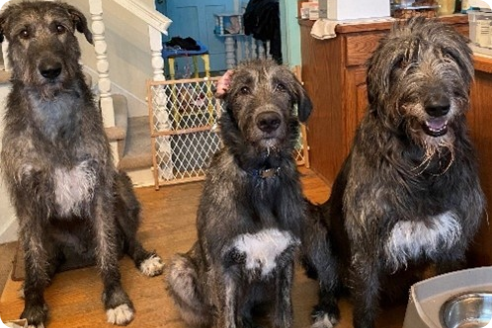 Three dogs are lined up for a group picture