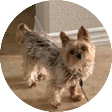 A picture of an endearing 6-pound Yorkshire Terrier.