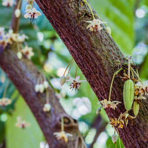 A New Year Brings New Growth and Much More-Maui Kuʻia Estate Chocolate