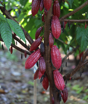 Spring Harvest is Coming Soon!-Maui Kuʻia Estate Chocolate