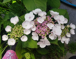 Libelle Lacecap Hydrangea (White). Advanced Size Pot