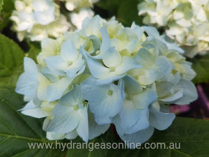 Mousseline Hydrangea macrophylla (Light Blue)