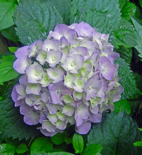 Gertrude Glahn Hydrangea macrophylla (Violet) Advanced Pot Size