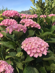 Hatfield Rose Hydrangea macrophylla (Pale Pink)
