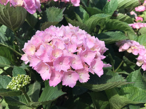 Hatfield Rose Hydrangea macrophylla (Pale Pink) ADVANCED SIZE
