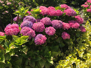 Hornli Dwarf Hydrangea macrophylla (Pink) Advanced Size Pot