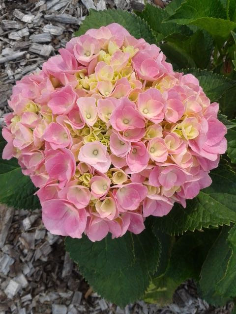 Marie Claire Hydrangea macrophylla (Pale Pink) Advanced Pot Size