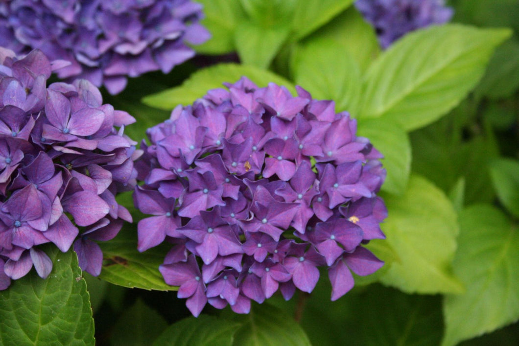 Deep Purple Hydrangea macrophylla (Deep Purple)
