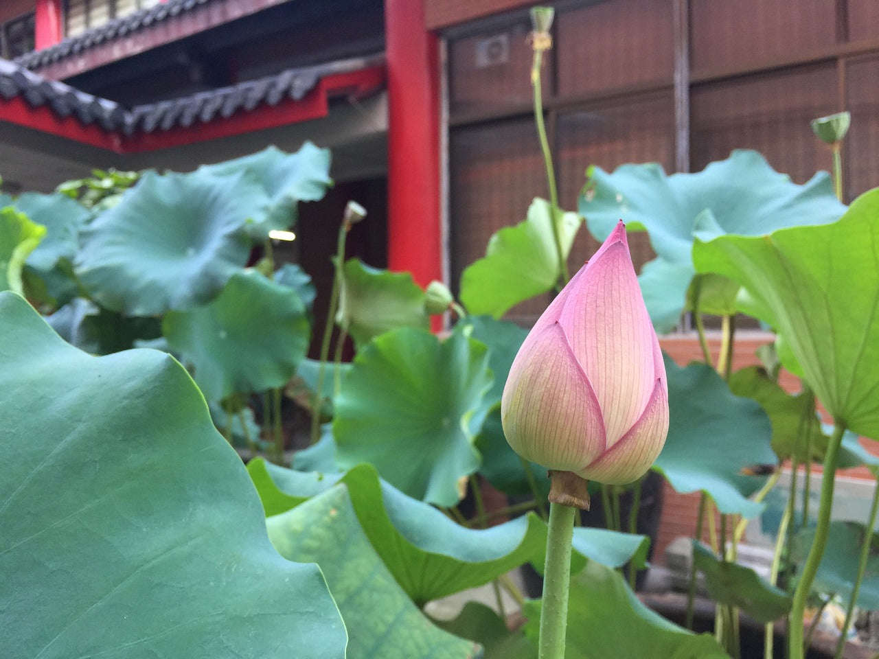 Bourgeon de fleur de lotus das un temple bouddhiste