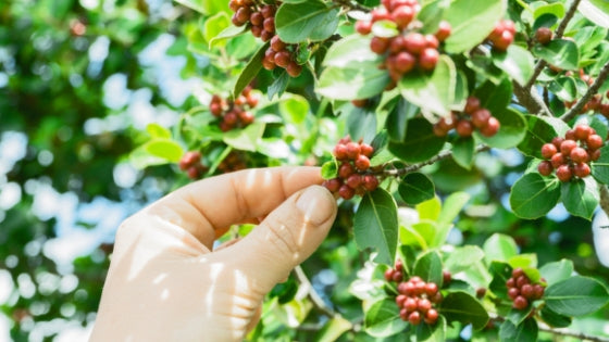 What is Cascara and How To Make Coffee With it?